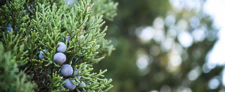 Arbres et arbustes à floraison hivernale