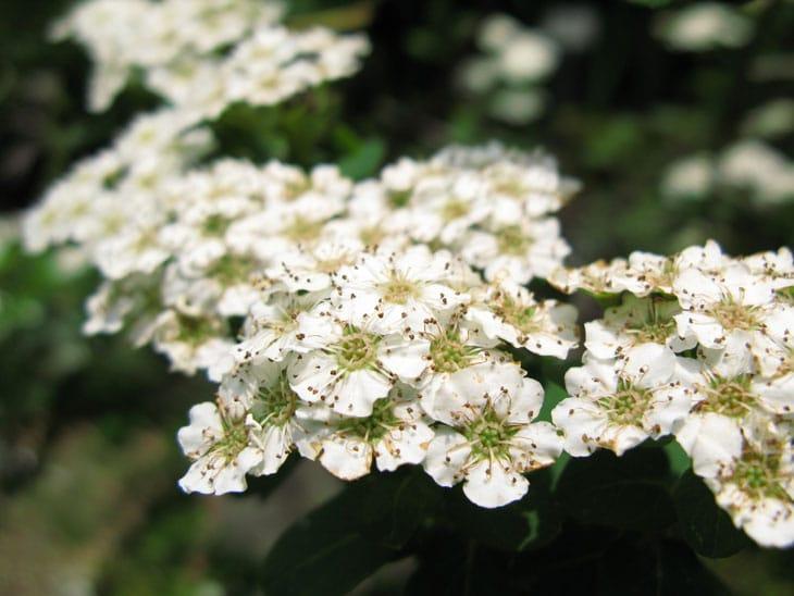 Achillée - Plantes couvres sols