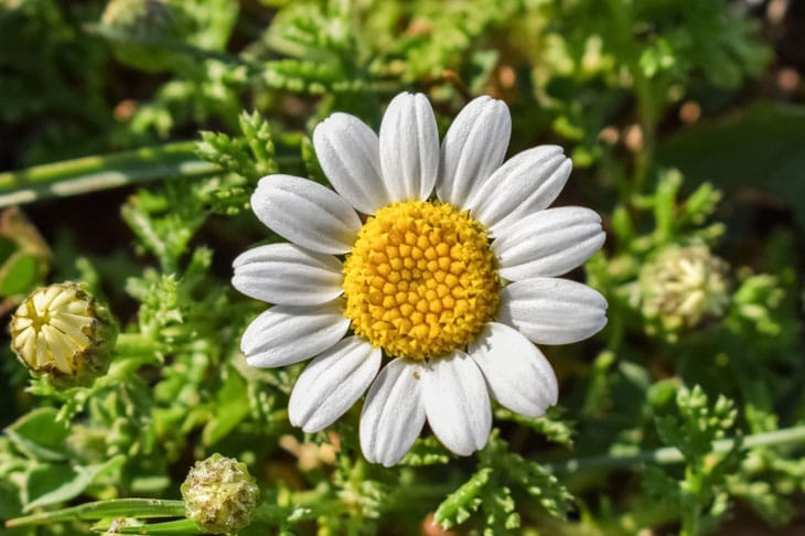 Camomille - Plantes couvres sols
