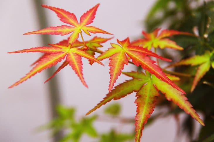 Erable du Japon arbre à planter pour noël