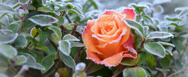 plantes frileuses - entretien des plantes frileuses