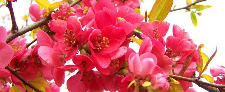 Arbustes à floraison d'hiver