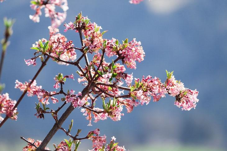 Kolkwitzia - Mahonia - Arbustes à floraison d'hiver