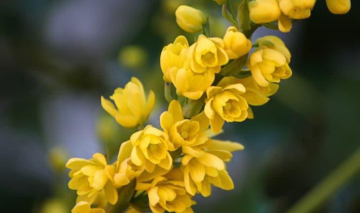 mahonia Arbustes à floraison d'hiver