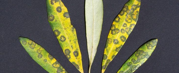 maladies de l'olivier