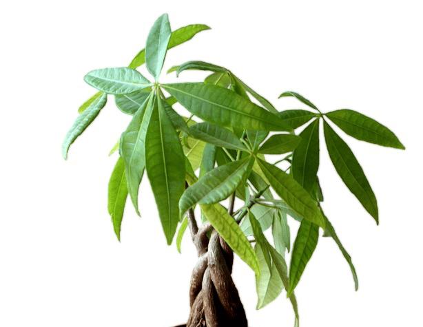 Cactées-et-plantes-tropicales-sous-lampe-Pachira-aquatica