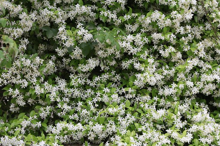 les grimpantes - jasmin étoilé plante grimpante