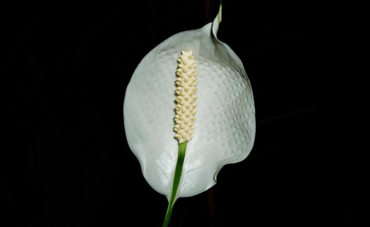 Spathiphyllum - culture du Spathiphyllum
