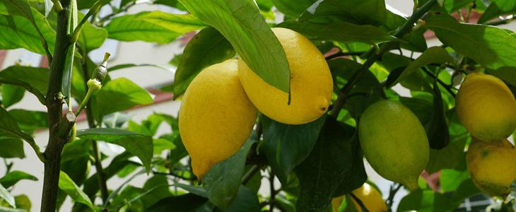 citronnier des 4 saisons : culture et entretien