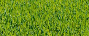 pelouse pour le printemps : entretien