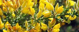 genet fleurs jaunes