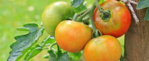 Entretien des tomates