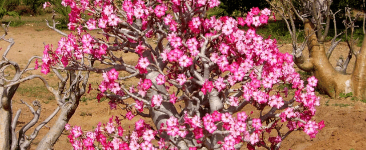 adenium la fleur du désert fleur rose poussant dans le désert