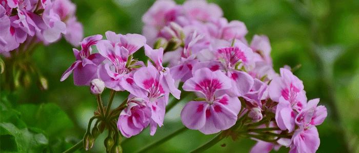 plante anti-moustique