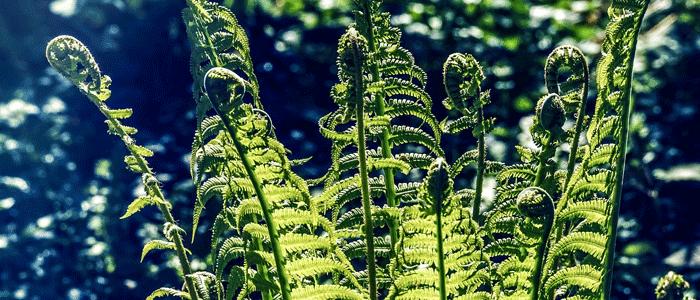 fougère matteuccia