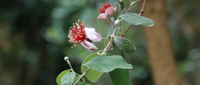 goyavier du Brésil Feijoa