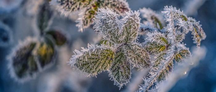 Gel des plantes en hiver